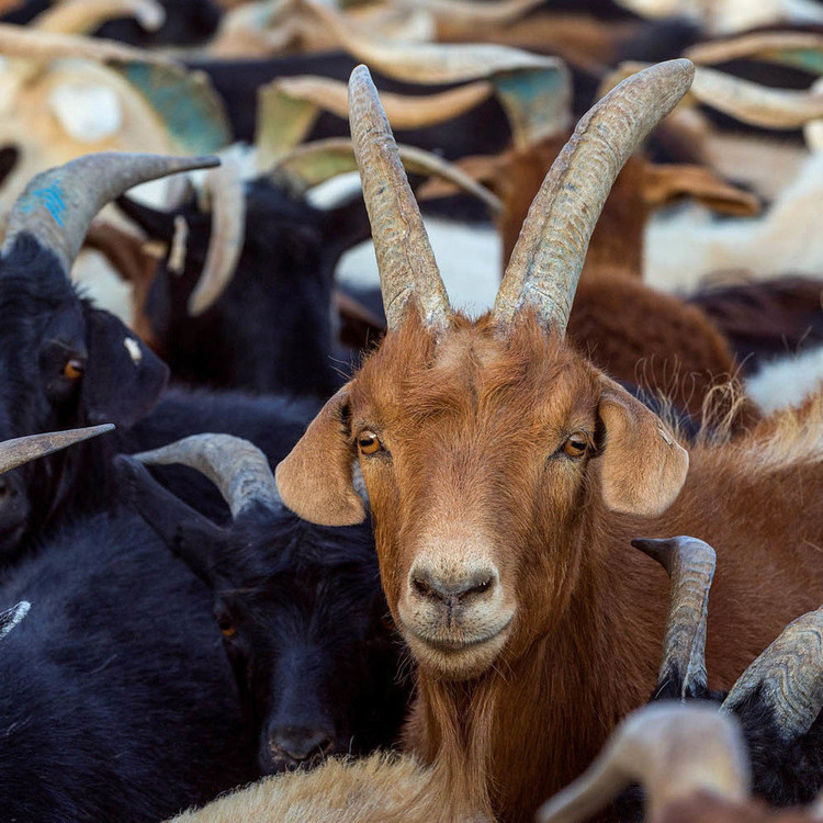 The War Against 'Goat Plague' — NPR