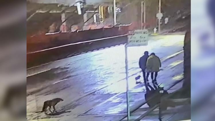 Video captures coyote following San Francisco couple walking dog — ABC7 Bay Area