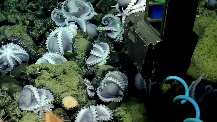 Marine biologists livestream their search for 'octopus garden' in Monterey Bay