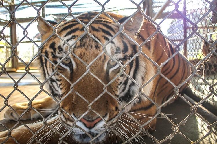 Wild tigers face extinction. This man pursues those responsible. — The Washington Post