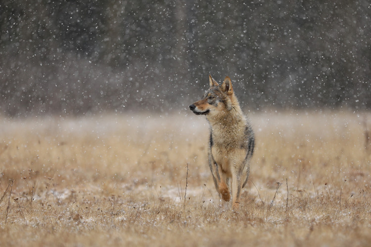 Lone Wolf Makes Record Journey From Oregon To California — IFLScience