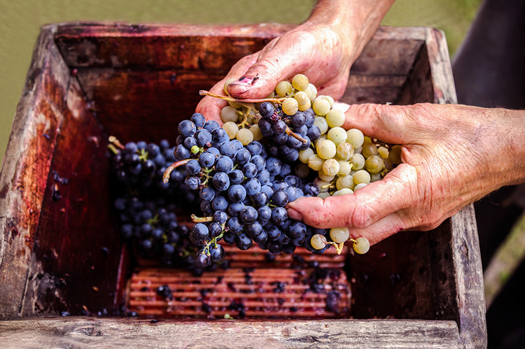 California Grape Glut Starts to Bite — Wine-Searcher