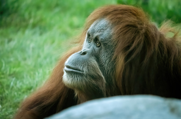 Orangutans and Bonobos At US Zoo Are First Great Apes To Get COVID-19 Vaccine — IFLScience