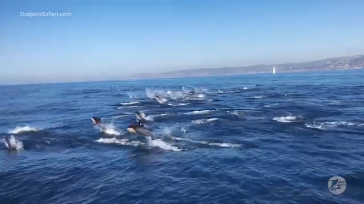 Spectacular dolphin stampede spotted off coast of Dana Point - Video