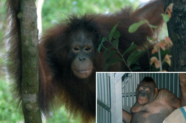 The Shocking Story Of A Sex Slave Orangutan And Her Rescue — IFLScience